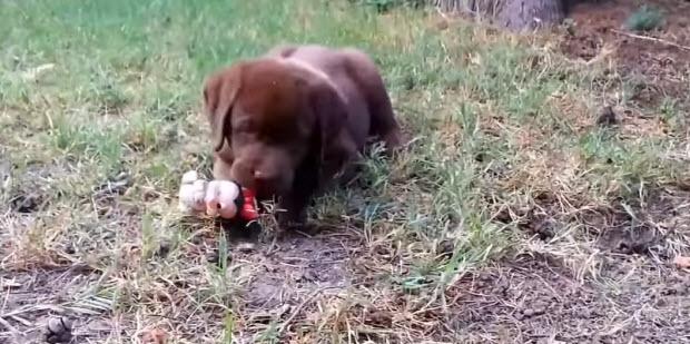 labrador_puppies1