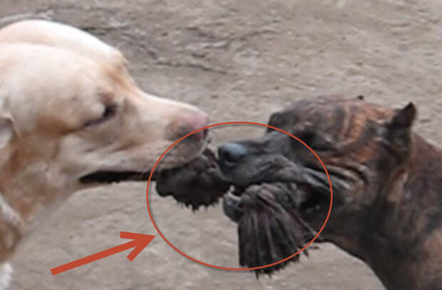 labrdor-and-pit-bull-sharing-toy-wins