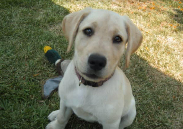 two-huge-labrador-retriever-dogs-from-puppies-3