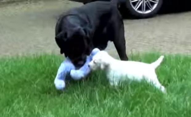 white-labrador-dog-puppy-56