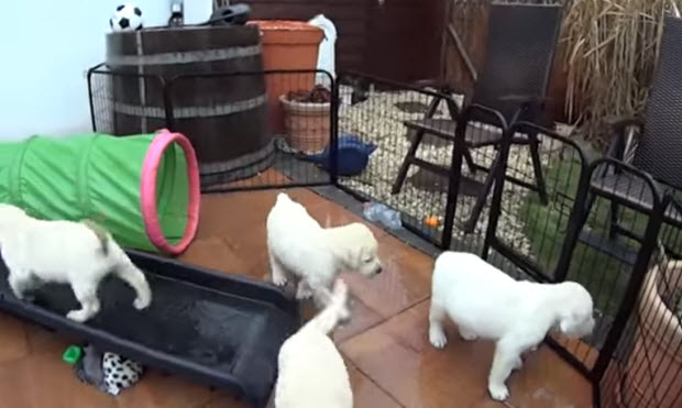 white-labrador-puppies playing