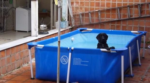 black-lab-puppy-in-pool