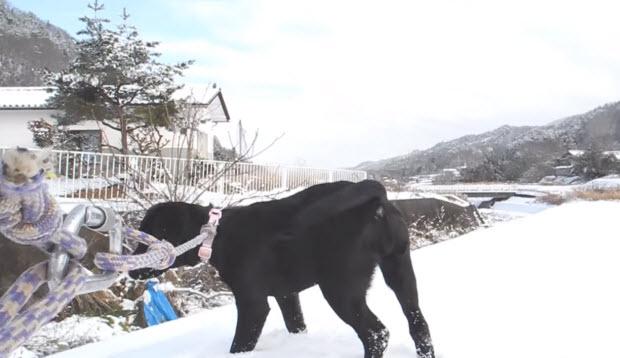 black-labrador-puppy-in-mountain-snow-3