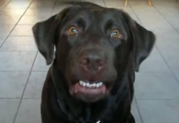 choc labrador says mama
