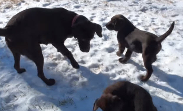 choc-labrador-puppies-playing-in-snow-1