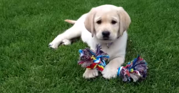 cute-baby-labrador-puppy