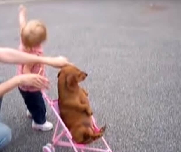 girl-pusshing-dachshund-in-stroller
