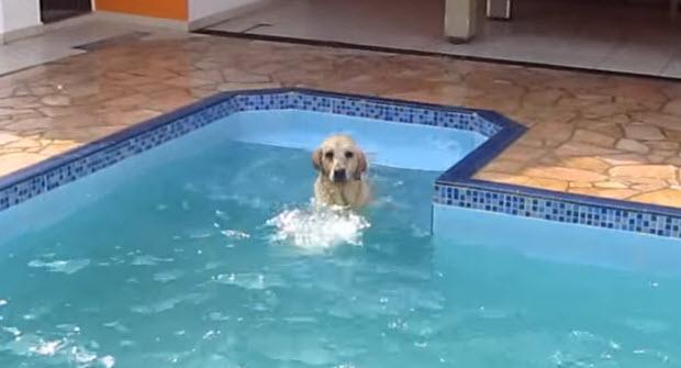 labrador chasing boy in pool
