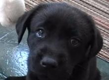 labrador retriever dog puppy playig