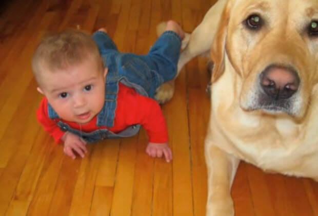 labrador-retriever-true-friend-1