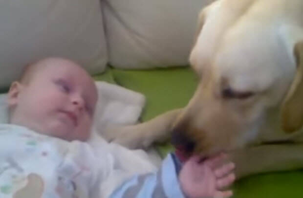 labrador with new born baby