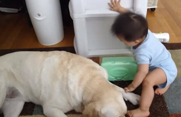 well trained labrador retriever with baby