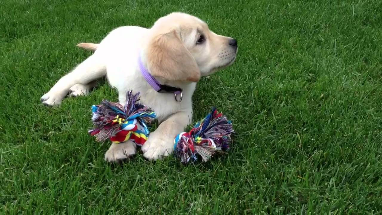 When Labrador Puppy Got Her Toy Nobody Knew How Cute She Will Look With It