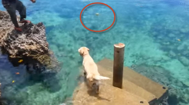 yellow-lab-fetching-from-ocean