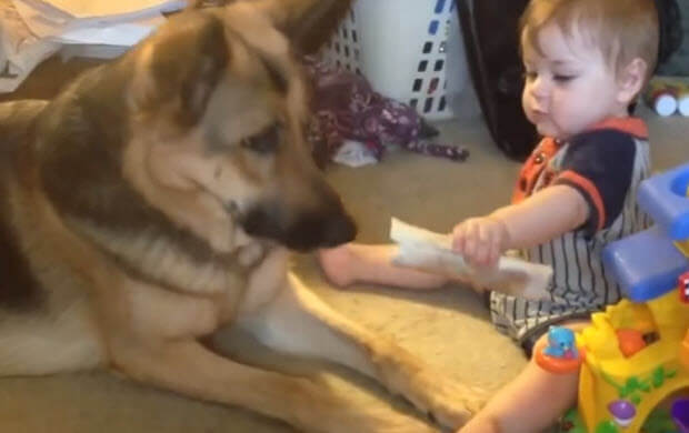 awesome-german-shepherds-with-babies-2