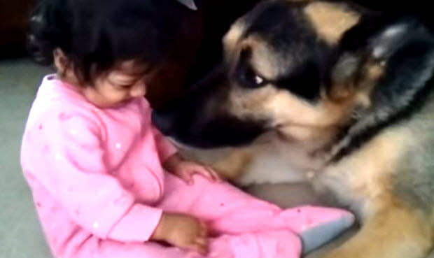 Awesome German Shepherds With Babies