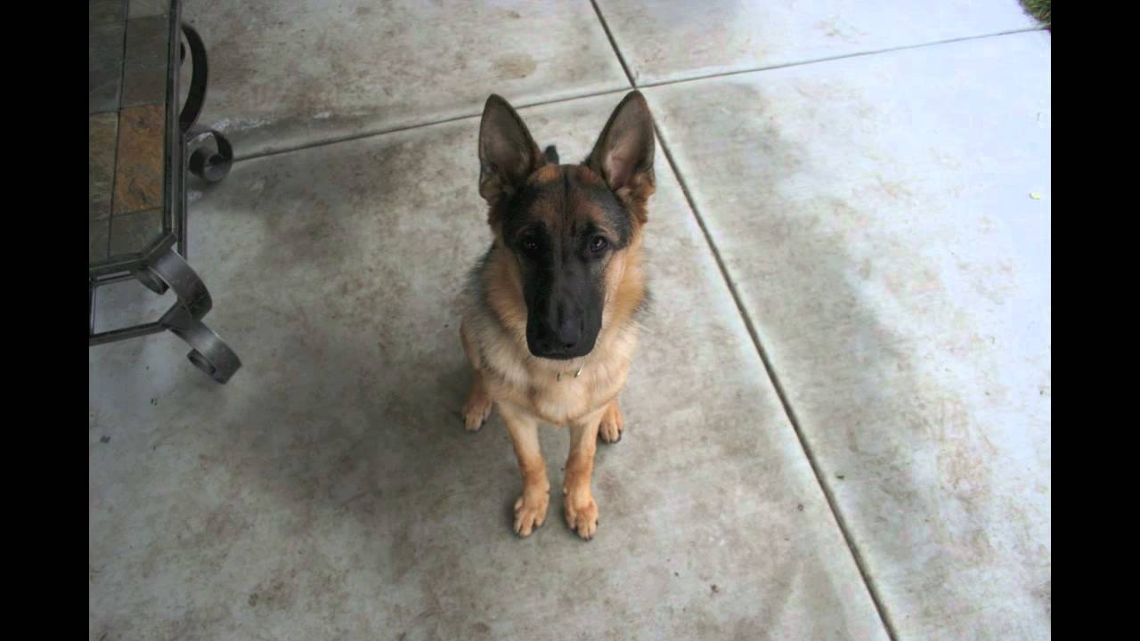 gsd puppy to adult dog in 40 seconds