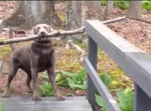 dog is trying to carry stick across the bridge
