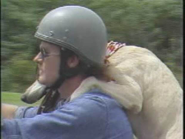 labrador-pit-mix-ride-motorcycle