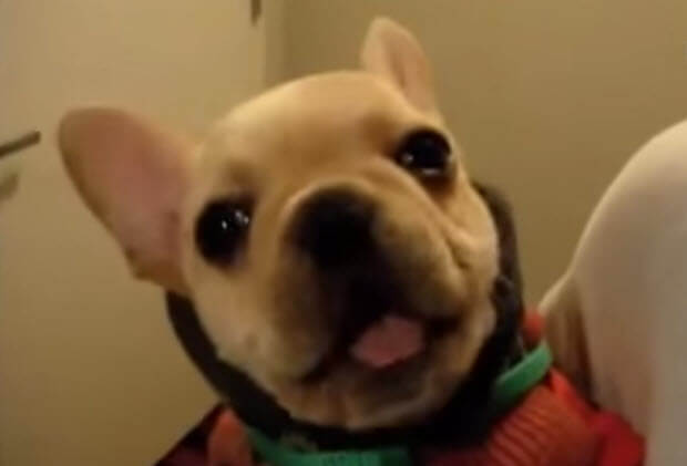 french-buldog-puppy-says-i-love-you