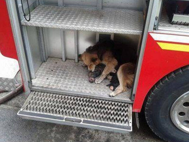 dog-saves-puppies-burning-house-2