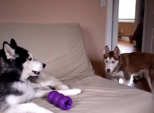 huskies argue who owns purple toy