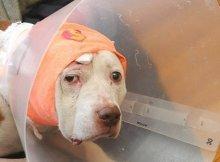 dog took bullet for owner