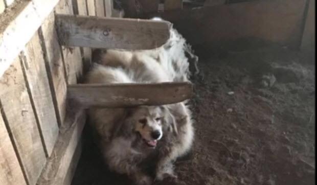 dog-trapped-barn-35-lbs-fur
