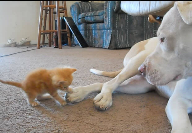 kitten attacks pit bull