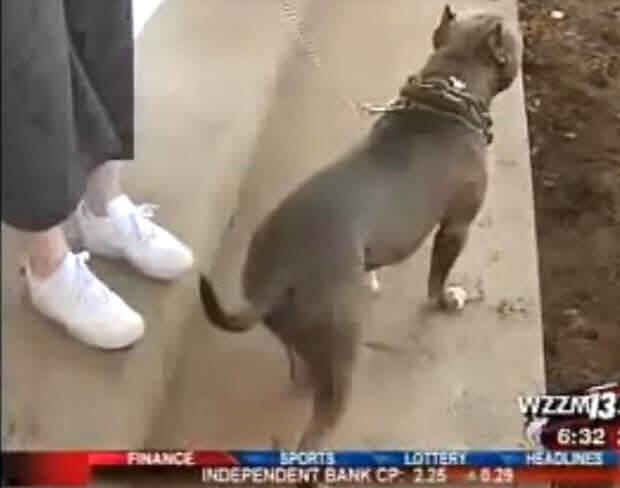 pit bull saves woman