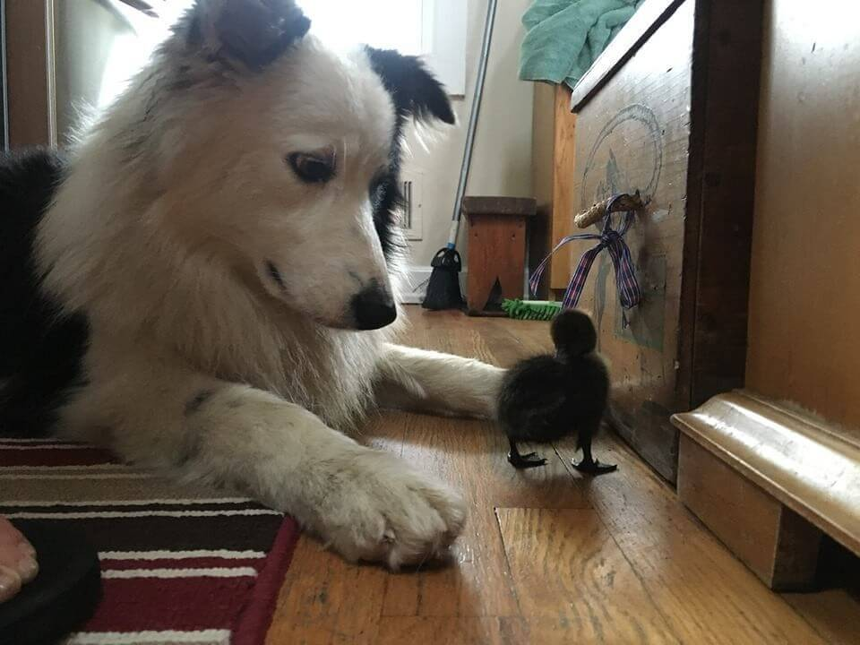 dog takes care of tiny duck